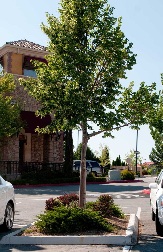 Commercial Landscaping Tree