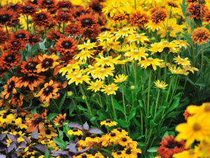 fall cold weather perennial flowers