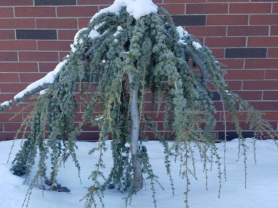 winter evergreen tree