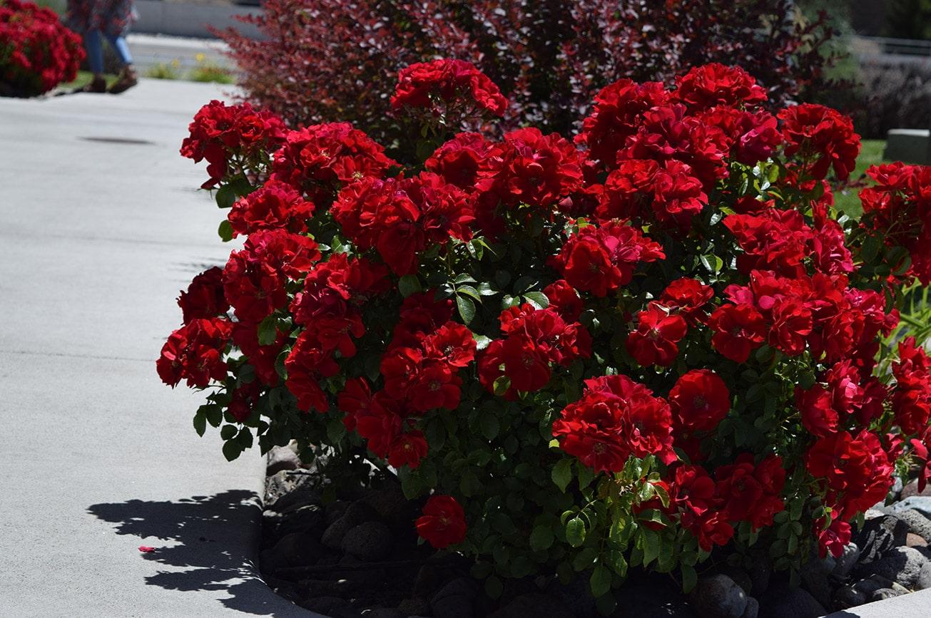 red shrub roses