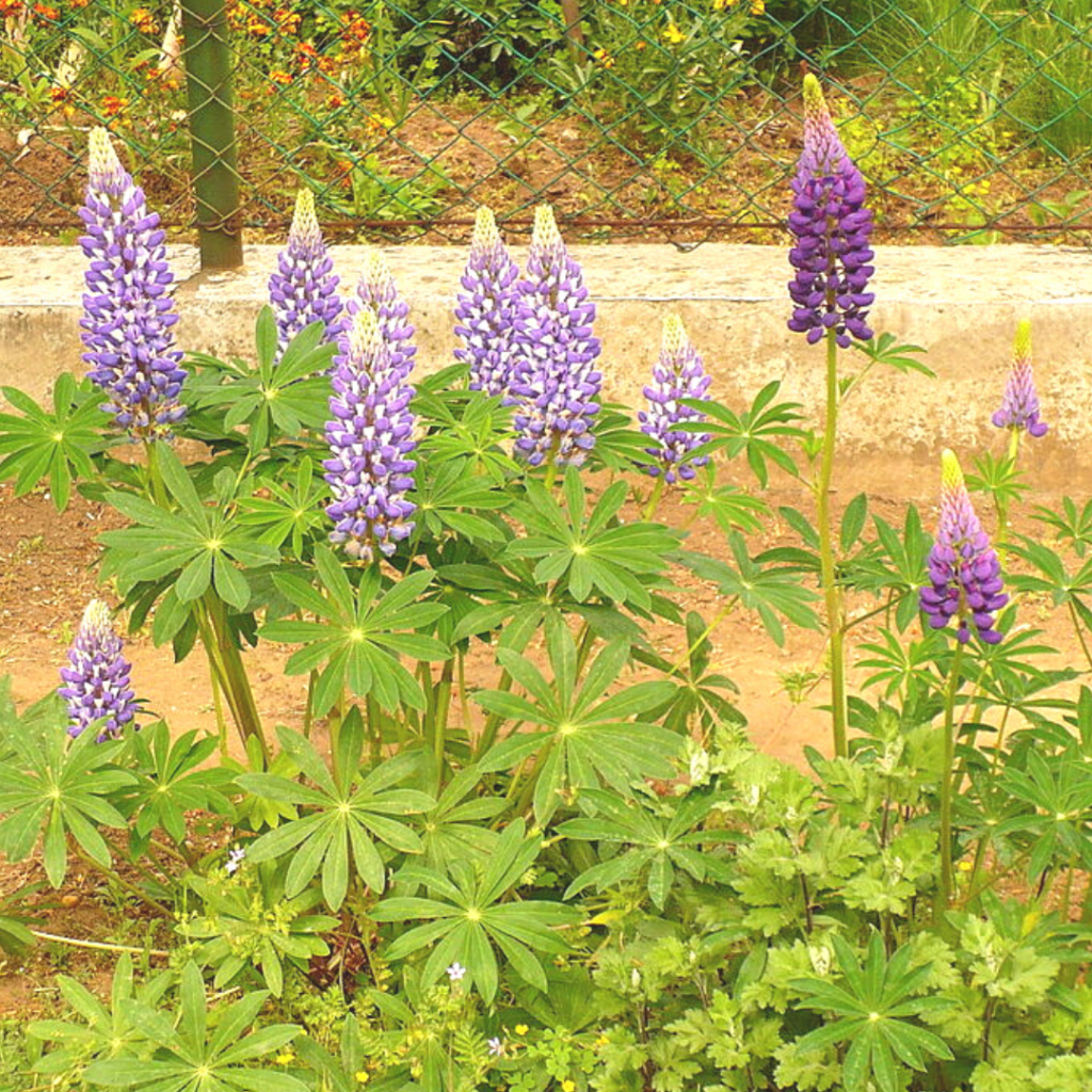 lupine mountain truckee native