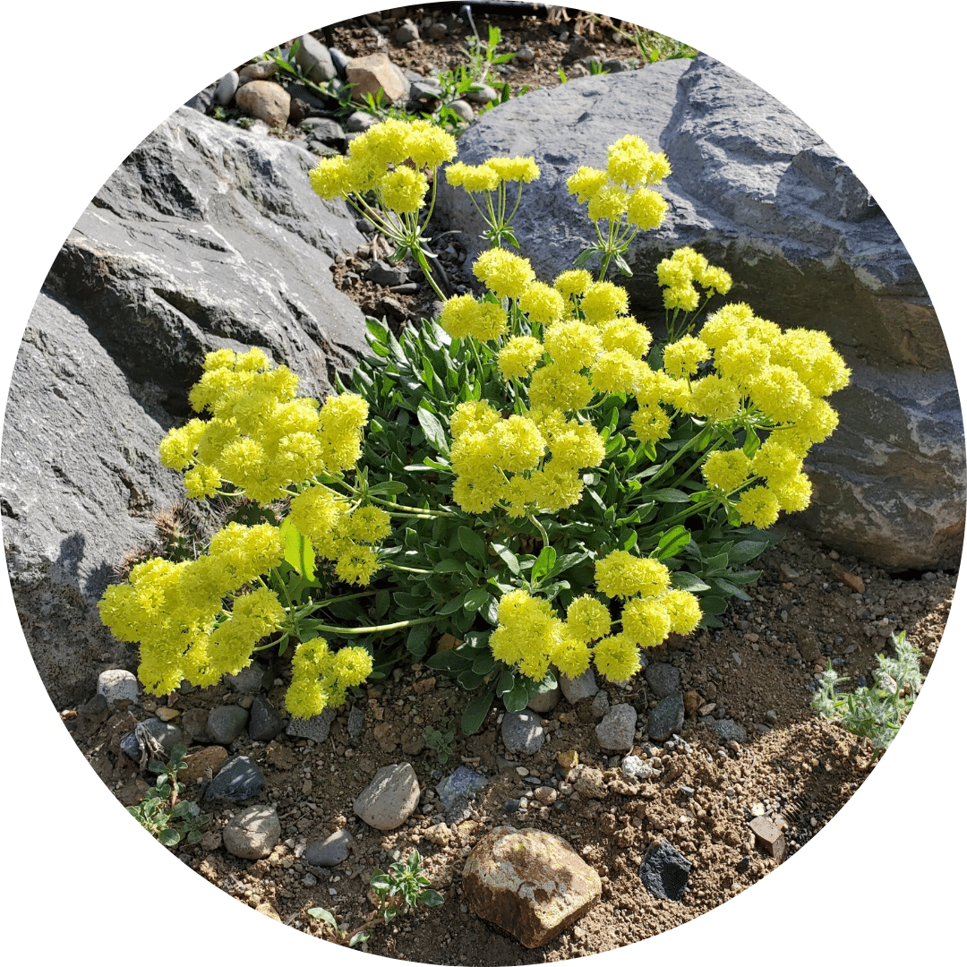 sulfur flower buckwheat native carson