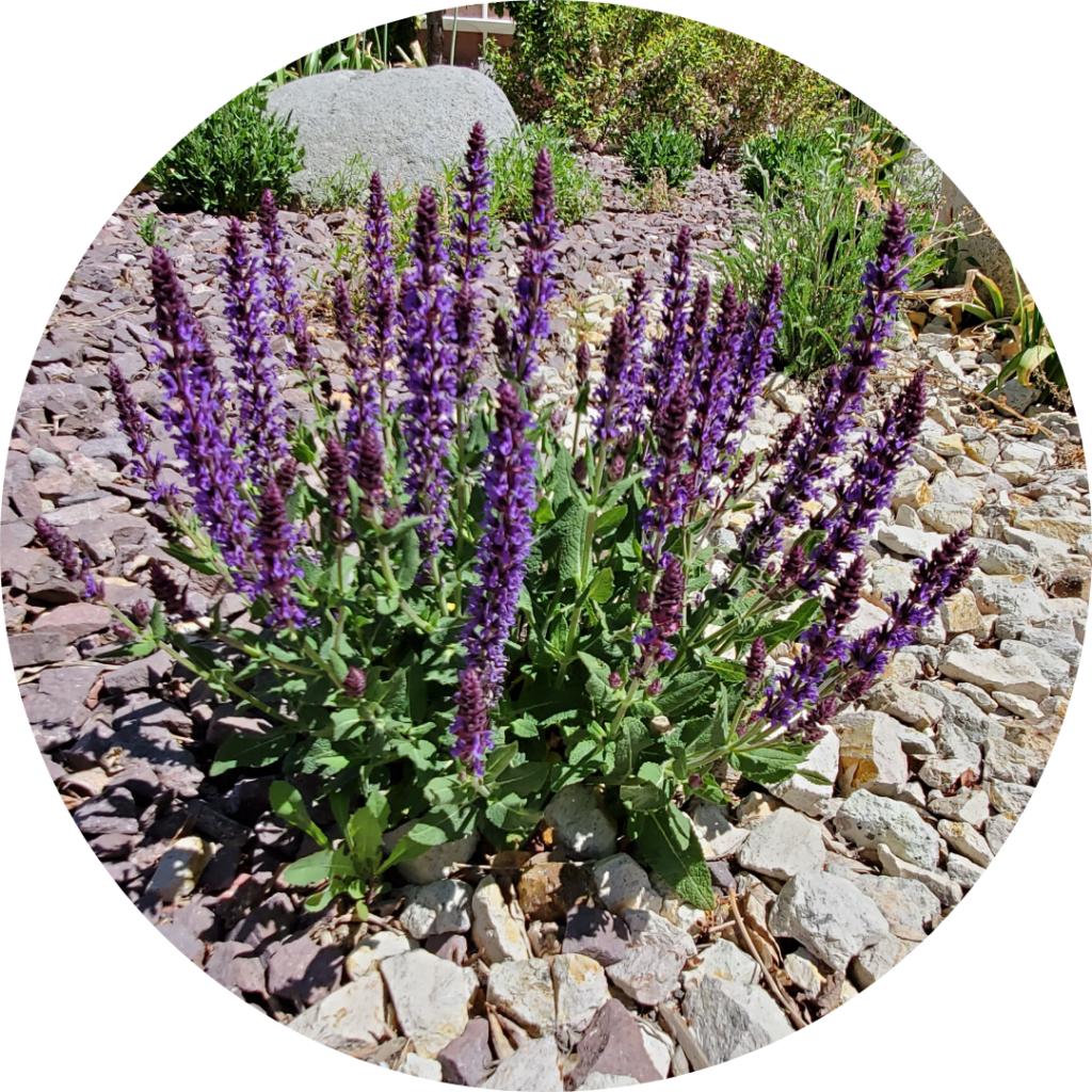 desert purple sage native carson