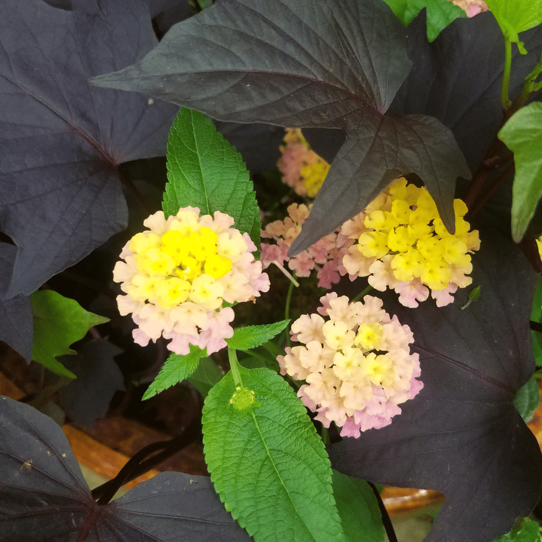 lantana ornamental potato flower