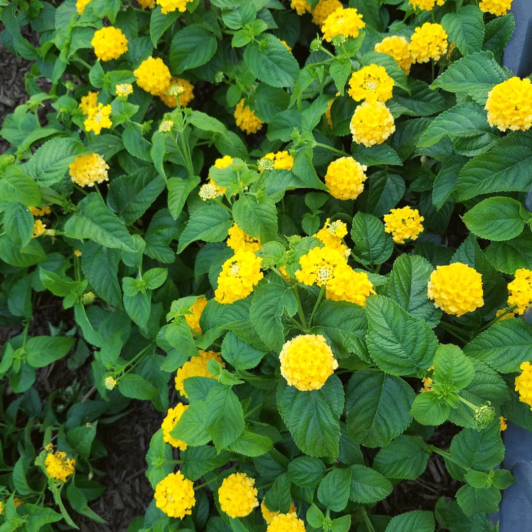 lantana yellow annual flower