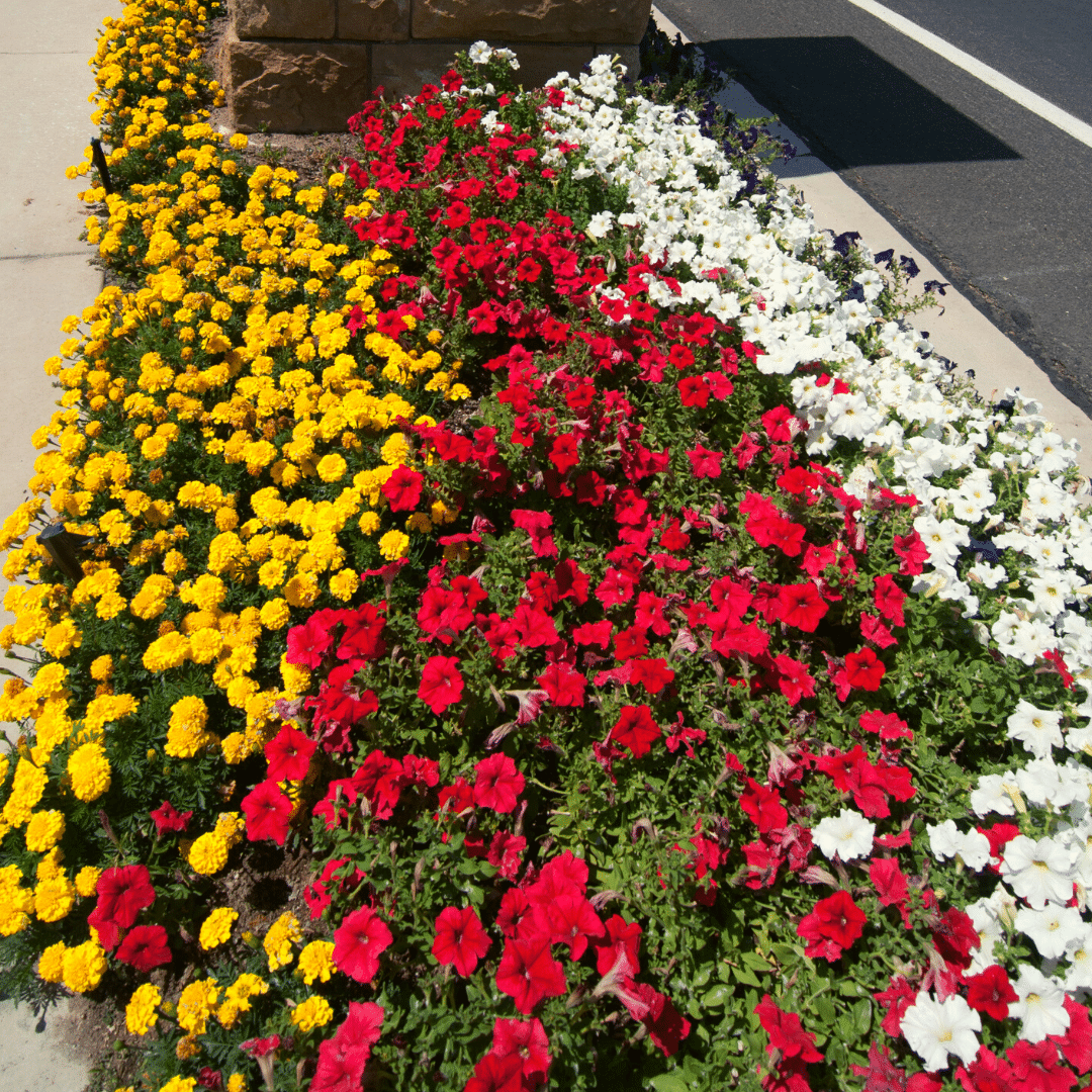 yellow marigolds with red and white petunias
