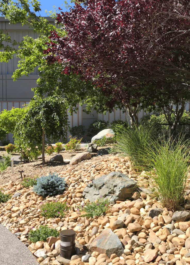 drip irrigation under rock mulch waters these trees and shrubs