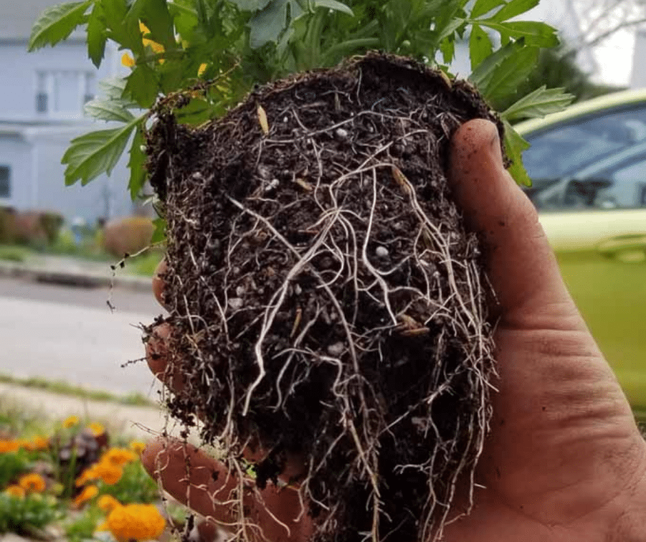 healthy roots