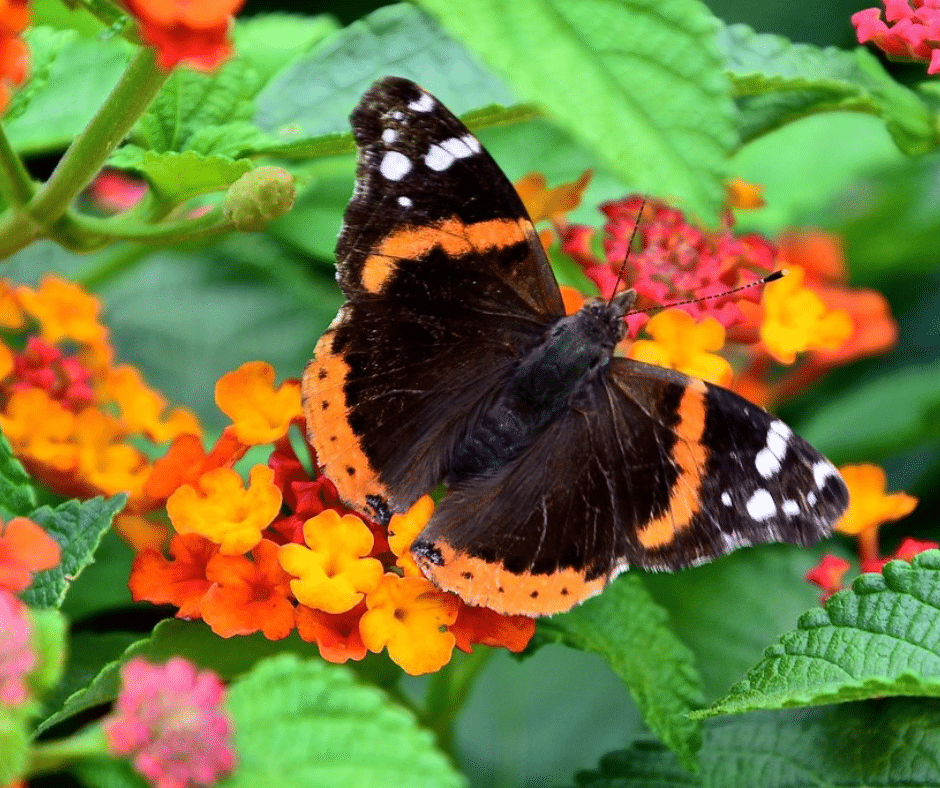 Garden containers for every season summer container flowers lantana butterfly